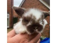 Baby mini lop earred rabbits