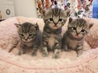 **British shorthair kittens** ready to view