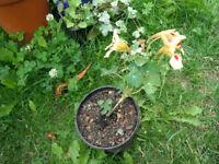 Plant for sale-A nasturtium Ladybird plant in a 14 cm pot