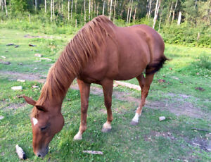 16 year old 16 HH kids quarter horse