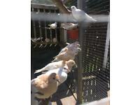 Birds doves
