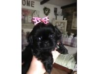 BEAUTIFUL HALF KARASHISHI SHIH TZU PUPPIES FOR SALE