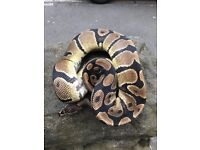 Male 100% het toffee royal python