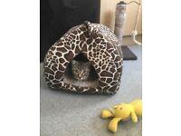 Pure breed Tubby kitten