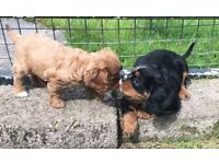 Pure bred King Charles pups for sale