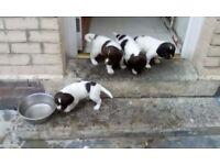 4 springer spaniel pups in gateshead liver and white