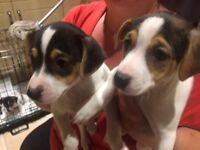 Jack Russell Puppies x 2 gorgeous girls. 8 wks old, ready to go.