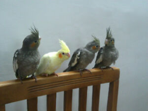❤★❤ Handfed Cockatiels with Cage❤★❤