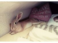 Adult Female Rabbit £60 with large hutch and accessories