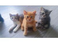 kittens GCCF British shorthair blue
