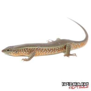 Red Sided Skink (Male) and Blue sided male/female for sale.