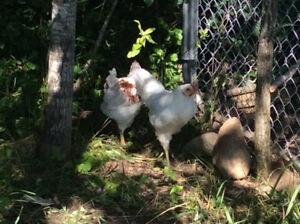 Ameraucana Roosters for sale