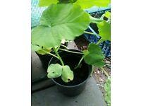 2 x turks turban squash plants