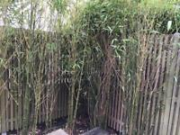 Bamboo Plants - from £10 each - SOLD OUT for now
