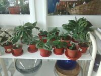 10 maranta prayer plants, healthy young indoor house plants, collect only