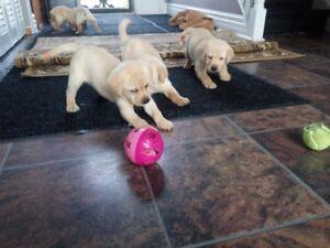 CKC yellow Labrador Retriever pups