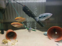 2x Opaline Gourami + 2x Golden Gourami - Tropical fish