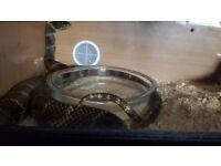 King snake nd viv