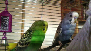 Moving - Re-Homing Three Adult Budgie Birds
