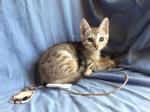 Silver Females Bengal Kittens Pure/ Delivery, Reduced Price