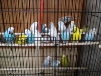 COLOURFUL ,HEALTHY & ACTIVE ADULT BUDGIES FOR SALE