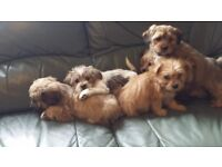 lhapsa apso x yorkie pups vet checked and parvoed