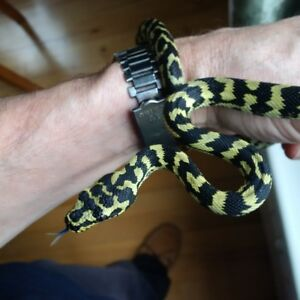 Fs:Young Female Jungle Carpet Python and Enclosure