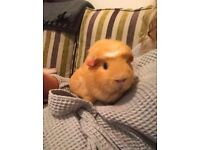 Guinea Pig (Give Away)