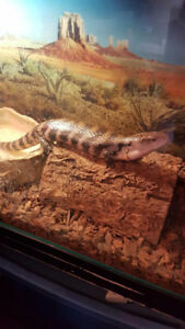 Blue Tongued Skink with tank and stand