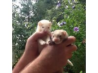 Hobs and Jill ferrets for sale
