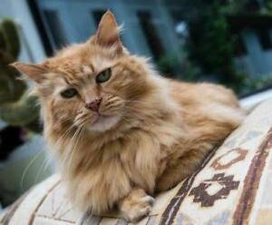 "Senior Male Cat - Domestic Long Hair (Orange): ""Squire"""