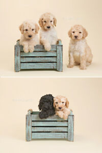Beautiful LABRADOODLE Puppies FOR SALE!