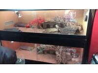 Bearded dragon complete set up £60