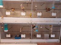 Canaries (mixed aviary)