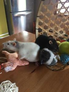 """Young Female Small & Furry - Rat: """"Simone"""""""
