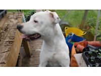 Free!! 14 month old intact Stafordshire Bull Terrier.