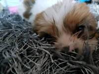 Beautiful shorkie pups yorkie x shih tzu