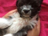 Pomeranian/Chihuahua/Jack Russel puppy