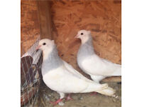 Iranian Toghie Pigeons For Sale