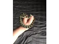 Baby carpet python no.15 Male Snake