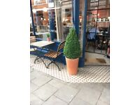 L Box Tree topiary x 3 for £100 including pots!!!