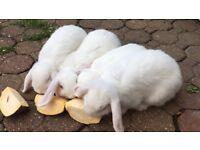 Rabbits Mini lops