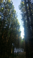 Pine Bush approximately 25 years old looking for buyer too thin