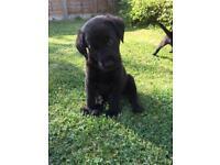 Stunning Black male Lab puppies