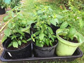 Chilli Plant for sale £2.50