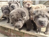 Shar Pei pups quality with colours