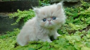 Purebred Persian Kitten (cream colored boy)