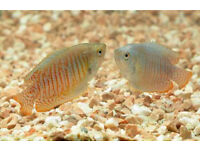 Gourami male and female for sale!