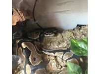 Royal Python for sale with 3ft full set up *Forever Home*
