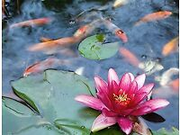 Water Lillies all different types, Dark and light pink flowering, white flowering